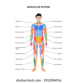 Human muscular system infographic anatomical poster. Structure of muscle groups of men in front view. Biceps, trapezius, abs and triceps. Deltoid and adductor, bodybuilding flat vector illustration