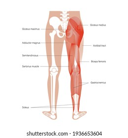 Human muscular system of legs in back view. Gluteus medius, gluteus maximus gastrocnemius and other muscles. Pelvis, leg and hip bones skeleton poster. Bodybuilding and strong body vector illustration