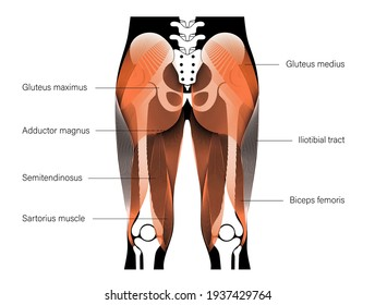 Human muscular system and skeleton anatomical poster. Gluteus medius, gluteus maximus and leg muscles in male body. Structure of muscle groups in back view. Bodybuilding, workout vector illustration