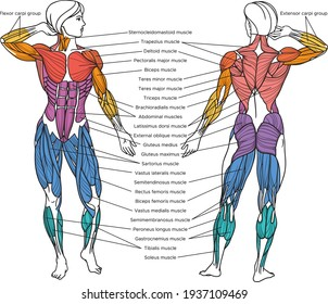 Human muscular system vector illustration with English captions, muscles of the human body picture
