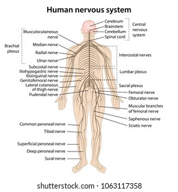 Human nervous system with main parts labeled. Vector illustration
