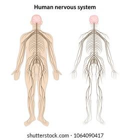 Human nervous system. Vector illustration