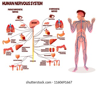Human nervous system vector illustration. Cartoon design of man body with brain parasympathetic and sympathetic nerves chain for neurology medical infographic