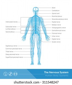 The human nervous system vector medical illustration
