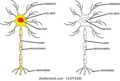 Nerve cell diagram images stock photos vectors shutterstock human neuron cell ccuart Choice Image