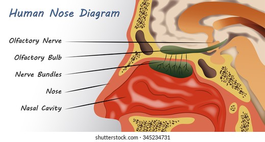 Diagram Of Nostril - Block And Schematic Diagrams •
