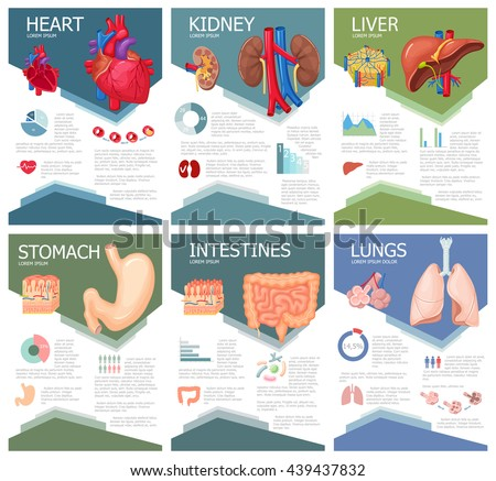 human organ anatomy infographic poster chart stock vector royalty
