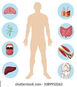 Human Organ Anatomy Part of Body illustration