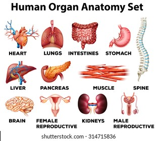 Human Organs Diagram | Human Organs Images Stock Photos Vectors Shutterstock