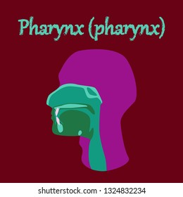 human organ icon in flat style pharynx