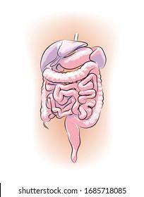 Human organ organs diagram for education. Vector illustration