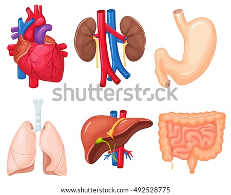 Human Organs Anatomy Heart Lungs Kidney Stock Vector Royalty Free