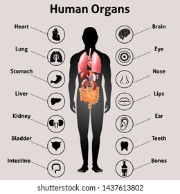 Human organs collection with explanations. Medical infographics with icons. Vector banner.
