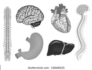 human organs. human heart, liver, stomach, human brian with spinal cord, spinal column and brain. vector medicine illustration