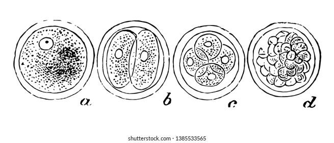 The  human ovum undergoing segmentation, vintage line drawing or engraving illustration.