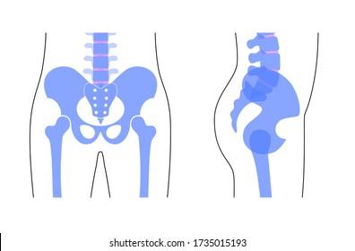 Human pelvis anatomy. Main pelvis bones - sacrum, ilium, coccyx, femur. Front and side view. Vector illustration isolated on white background. skeleton silhouette. Medical, educational banner.