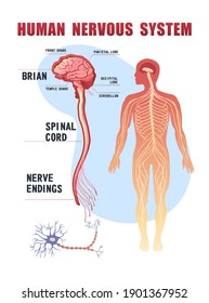 human peripheral nervous system, brain, spinal nerve endings vector illustration educational banner on white background