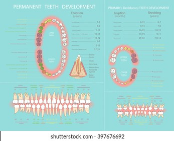 Human permanent and primary teeth development.  Dental infographic.. All objects are conveniently grouped  and are easily editable.