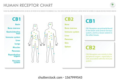 Human Receptor Chart horizontal business infographic illustration about cannabis as herbal alternative medicine and chemical therapy, healthcare and medical science vector.