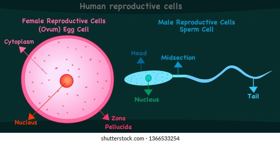 Human reproductive cells. Female cell ovum or egg, male cell sperm. Reproduction in humans and animals. Simple annotated. Pink blue. Green dark background. Editable 2d vector illustration