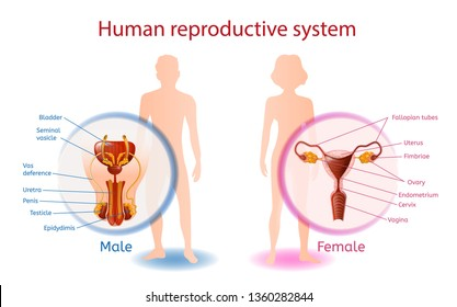 Human Reproductive System Anatomical Banner with Close Up View of Male and Female Genitals with All Components. Abstract Man and Woman on White Background. Medical Aid Vector Realistic Illustration