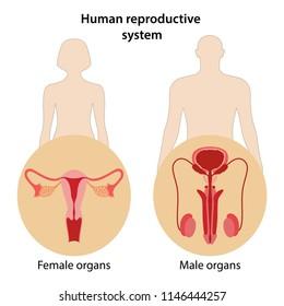 Human reproductive system. Anterior views. Vector illustration