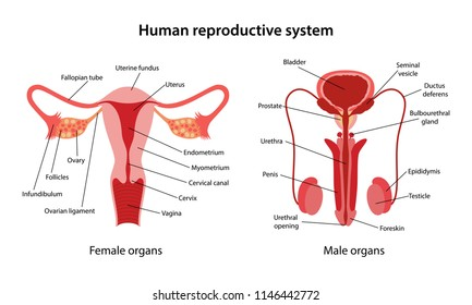 Human reproductive system with main parts labeled. Anterior views. Vector illustration