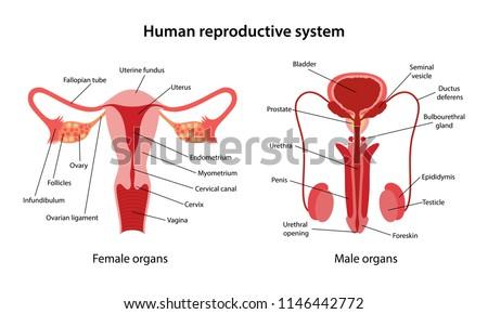 Human Reproductive System Main Parts Labeled Stock Vector (Royalty ...