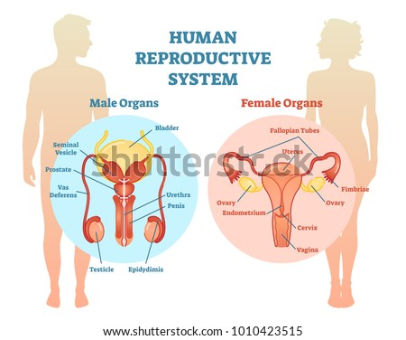 650505d84 Human Reproductive System Vector Illustration Diagram témájú ...