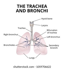 human respiratory organs, the structure of the trachea and bronchi with explanations