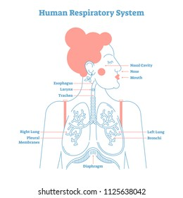 Human Respiratory System anatomical line style artistic vector illustration, medical education cross section diagram with esophagus, larynx, trachea, lungs and diaphragm.