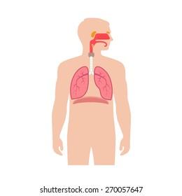 human respiratory system anatomy, vector medical nose illustration