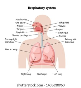 Human respiratory system with description of the corresponding parts. Anatomical vector illustration in flat style isolated over white background.