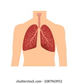 Human respiratory system. Human lungs