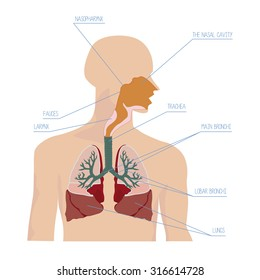 Human respiratory system in vector illustration