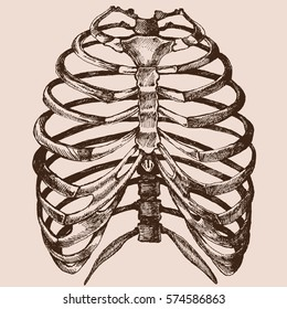 human rib cage  vector hand drawn illustration vector of the skeleton in a  realistic form