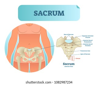 Human sacrum bone structure diagram, anatomical vector illustration labeled scheme with bone sections. Health care informational poster.