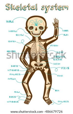 Human Skeletal System Kids Vector Color Stock Vector (Royalty Free ...