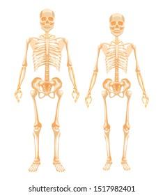 diagram of male skeleton female skeletal system images  stock photos   vectors shutterstock  female skeletal system images  stock