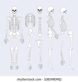 Human skeletal system parts with sternum, ribs and skull, supporting structure of organism bones types vector illustration isolated on grey background