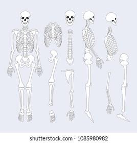 sternum bone