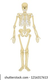 human skeleton. Anatomy scheme. Vector illustration. Male human body skeletal system. Skeleton front view