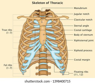 Human Skeleton Anatomy of Thoracic   Very Detailed Medical Education Vector Illustration