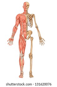 Human skeleton from the anterior view - didactic board of anatomy of human bony and muscular system