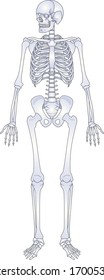 Human skeleton. Back and white bones anatomy skeleton vector illustration, skeletal biology system isolated on white background