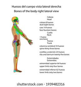 Human skeleton body bones right side view vector