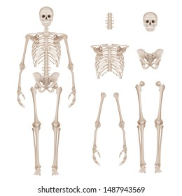 Human skeleton. Body parts skull bones hands foot spine anatomy detailed realistic vector illustration