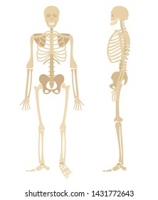 Human skeleton. Bones anatomy skeleton vector illustration, skeletal biology system isolated on white background
