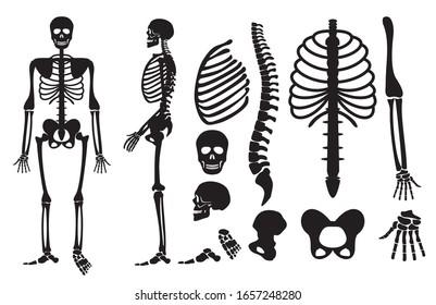 Human skeleton. Human bones skeleton silhouette collection set. High detailed Vector illustration.