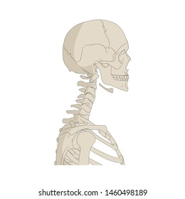 Human skeleton. Chest, neck and head. Side view.